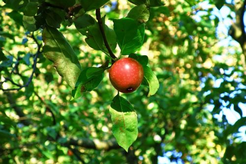 apple apple tree red apple