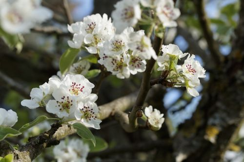 apple apple tree apple blossom