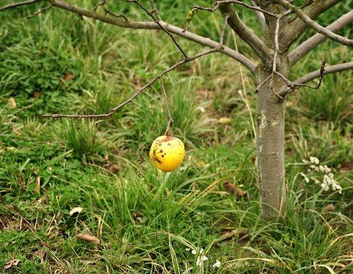 apple  latest apple  autumn