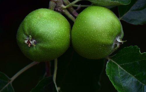 apple  green apple  fruit