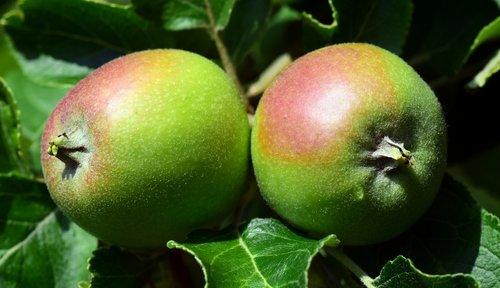 apple  green  fruit