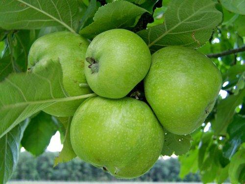 apple  green  immature fruit