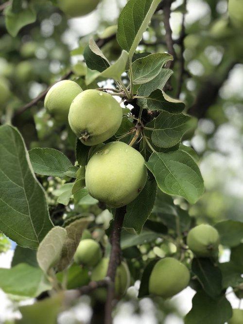 apple  fruits  vitamins