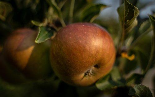 apple  apple tree  red apple