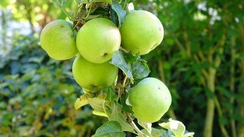 apple  fruit  fresh