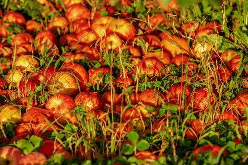 apple  royal gala  fruit