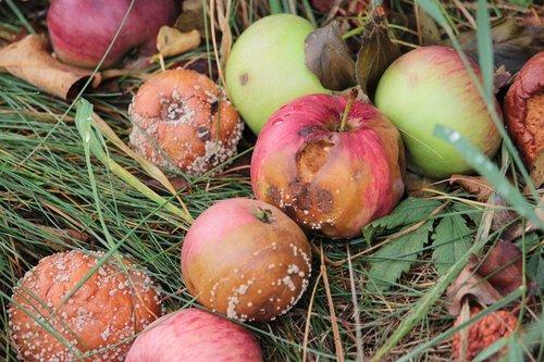 apple  rot  mold
