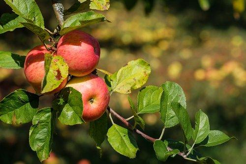apple  fruit  fruits