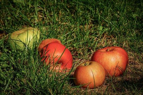 apple  windfall  fruit