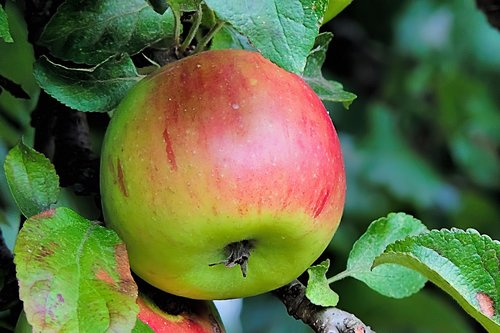 apple  browned  fruits