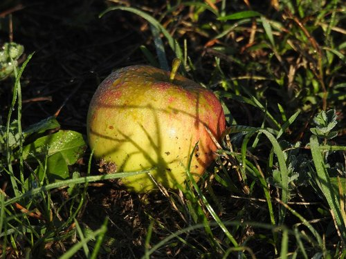 apple  windfall  meadow