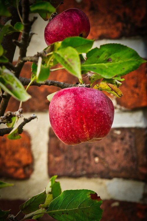 apple  autumn  harvest