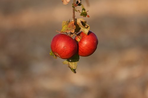 apple  autumn  fruit