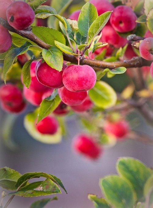 apple  zieraepfel  fruits