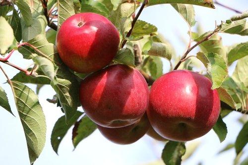 apple  red  vitamins