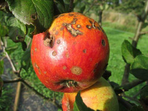 apple blight decay