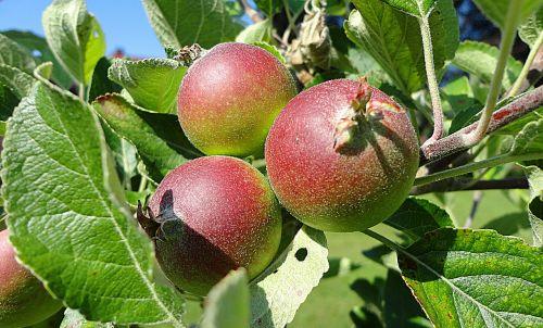 obuolys,vaisiai,sveikas,augalas,gamta