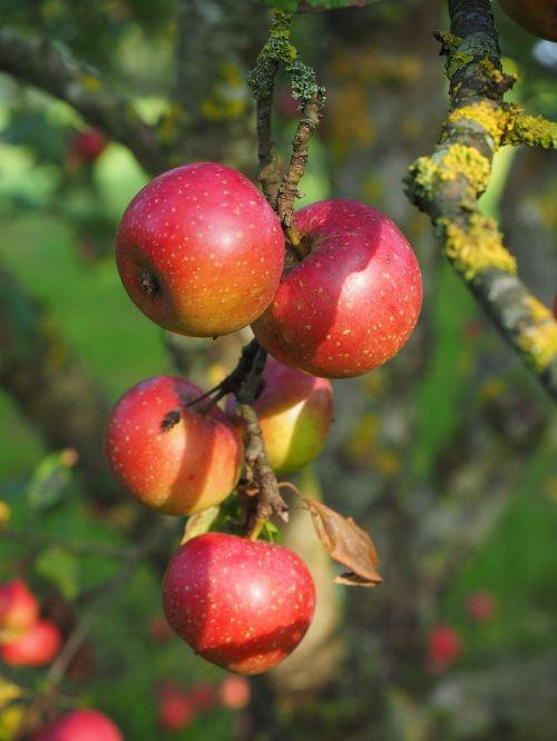 apple red boskoop boskoop
