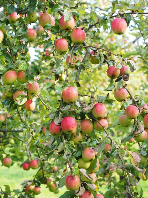 apple apple tree fruit