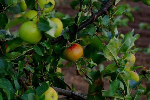 apple apple tree fruit