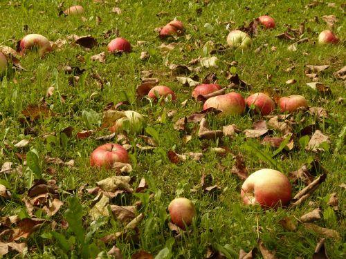 apple meadow harvest