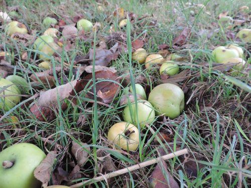 apple windfall autumn