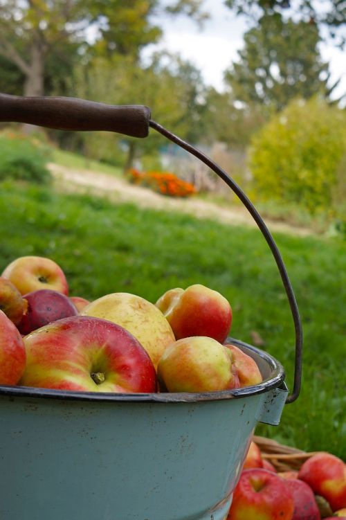 apple apples are harvested by bucket