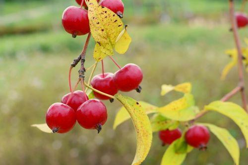 obuolių kūdikis,gėlių obuoliai,obuolys,mini obuolių,mediena,ruduo,prispausti,raudona,marmuras,gėlės,Spalio mėn,ekologinis parkas,paukščio parkas,sf,Han upė,vairavimo įvairovė,echo parkas,gėlių medis,fono defokusas