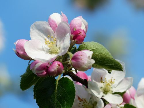 apple blossom apple tree blossom