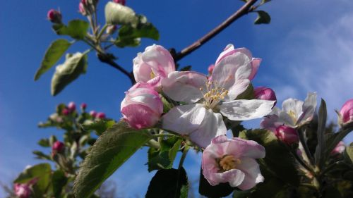 apple blossom in the own garden gorgeous
