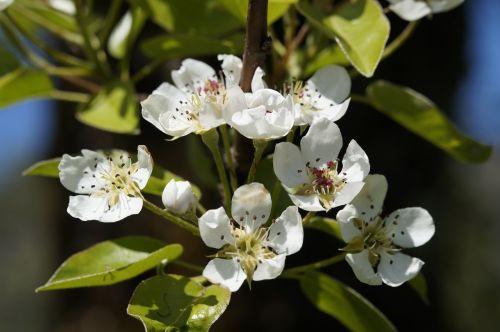 apple blossom bloom tree