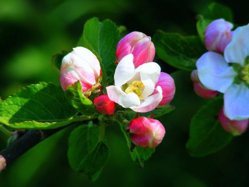 apple blossom pink red