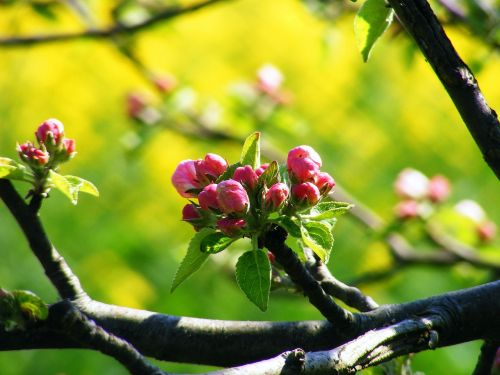 apple blossom old country york