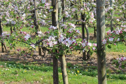 apple blossom orchard trees
