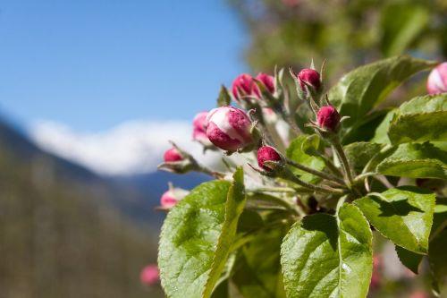apple blossom bud trellis