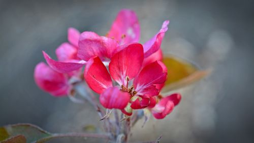 apple blossom red flower apple tree