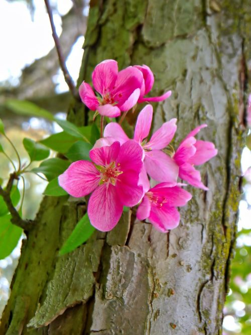 apple blossom spring nature