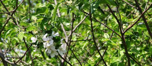 apple blossom appomattox apple tree