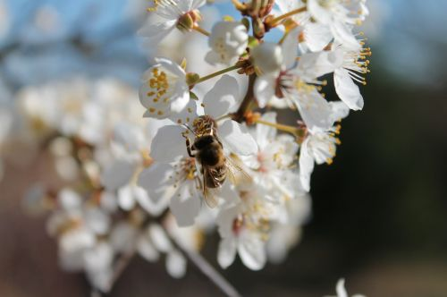apple blossom blossom bee