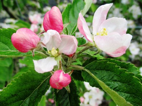 apple blossom orchard pink