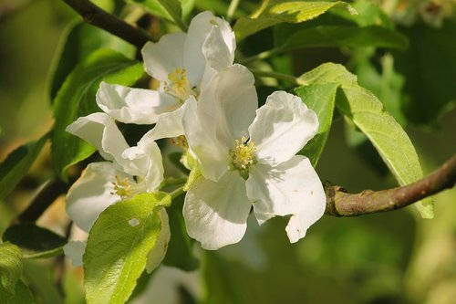 apple blossom  apple tree  fruit tree