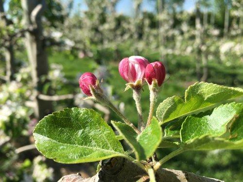 apple blossom  red  apple tree
