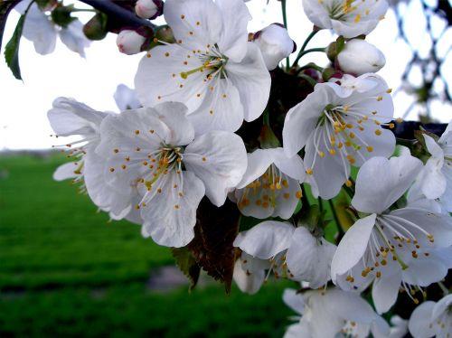 apple blossom blossom spring