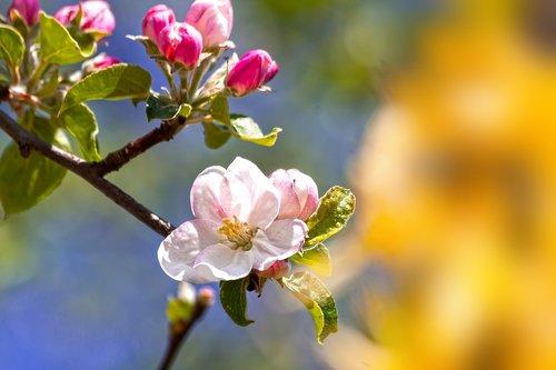 apple blossom  bloom  flowers