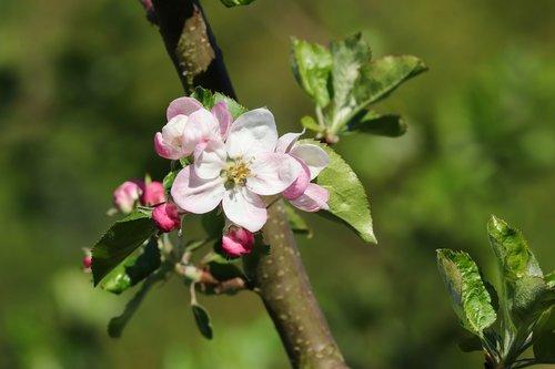 apple blossom  apple tree  spring