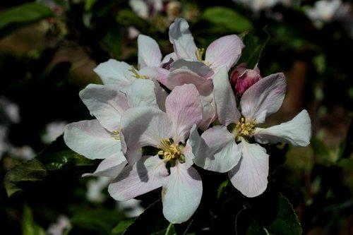 apple blossom  flowers  white