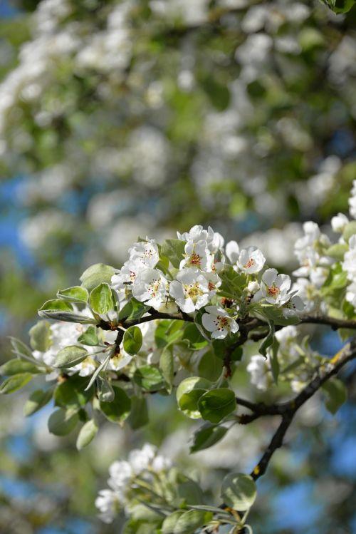 apple blossom tree apple tree