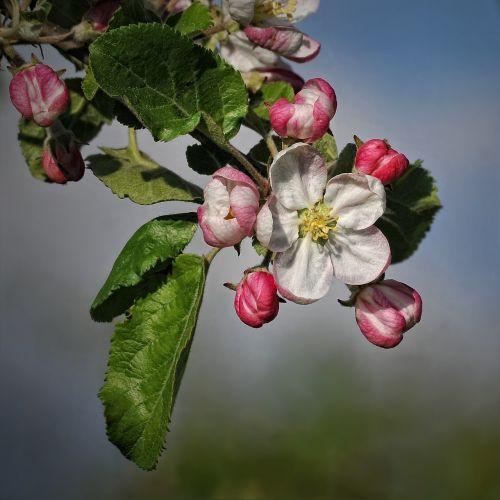 obuolių žiedas,Obuolių medis,žiedas,žydėti,vaisių sodas,obelų žiedas