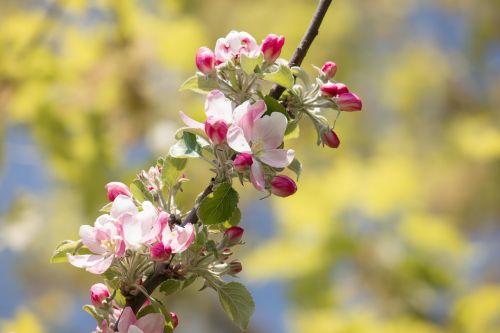 obuolių žiedas,Obuolių medis,budas,rožinis,pavasaris,žiedas,žydėti,obelų žiedas,filialas,žydėti