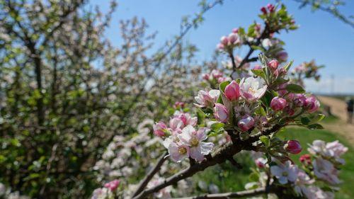 obuolių žiedas, pavasaris, žiedas, žydėti, Obuolių medis, pieva, obelų žiedas